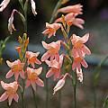 Gladiolus monticola, Mary Sue Ittner