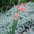 Gladiolus oppositiflorus, Rachel Saunders