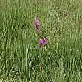 Gladiolus palustris, Hans Joschko