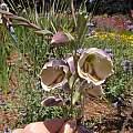 Gladiolus papilio, Mendocino Coast Botanical Gardens, Bob Rutemoeller