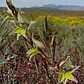 Gladiolus permeabilis, Jan and Anne Lise Schutte-Vlok