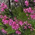 Gladiolus phoenix, Bainskloof, Rachel Saunders