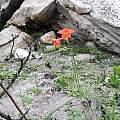 Gladiolus priorii, Table Mountain, Rachel Saunders