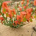 Gladiolus pulcherrimus, Alan Horstmann