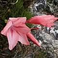 Gladiolus rhodanthus, Rachel Saunders