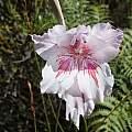 Gladiolus roseovenosus, Rachel Saunders