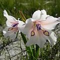 Gladiolus rudis, Fairfield, Cameron McMaster
