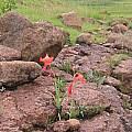 Gladiolus saundersii, Cameron McMaster