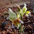 Gladiolus scullyi, Carolusberg, Cameron McMaster