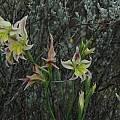 Gladiolus scullyi, Bob Rutemoeller