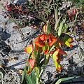 Gladiolus speciosus, Darling, Bob Rutemoeller