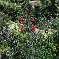 Gladiolus splendens, Middelpos, Mary Sue Ittner
