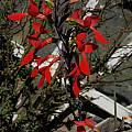 Gladiolus splendens, Bob Rutemoeller