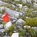 Gladiolus stokoei, Rachel Saunders