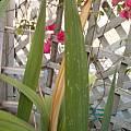 Gladiolus with thrip damage, Jennifer Hildebrand