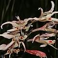 Gladiolus undulatus, Bainskloof, Andrew Harvie