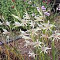 Gladiolus undulatus, Mary Sue Ittner