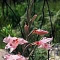 Gladiolus undulatus, Rod Saunders