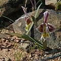 Gladiolus uysiae, Bob Rutemoeller