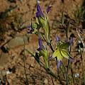 Gladiolus venustus, Middelpos, Mary Sue Ittner