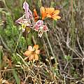 Gladiolus virescens, Andrew Harvie