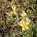 Gladiolus virescens, Cameron McMaster