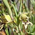 Gladiolus viridiflorus, Sheila Burrow
