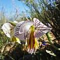 Gladiolus watermeyeri, Nieuwoudtville, Cameron McMaster