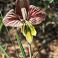 Gladiolus watermeyeri, Rod Saunders
