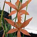 Gladiolus watsonius, Susan Hayek