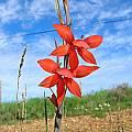 Gladiolus watsonius, Alan Horstmann