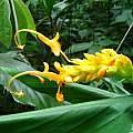 Globba schomburgkii, southern Vietnam, Nhu Nguyen