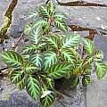 Gloxinella lindeniana, Mary Sue Ittner