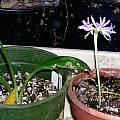 Griffinia espiritensis and Griffinia liboniana, Lee Poulsen