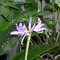 Griffinia liboniana, July 2004 by Lee Poulsen