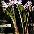Griffinia hyacinthina, Dylan Hannon