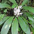 Griffinia intermedia, Alan Meerow