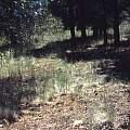 Calochortus ambiguus habitat, Hugh McDonald