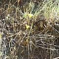 Calochortus clavatus LA form in habitat, Hugh McDonald