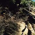 Calochortus concolor in habitat, Hugh McDonald