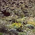Calochortus flexuosus habitat, Hugh McDonald