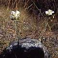 Calochortus howellii in habitat, Hugh McDonald