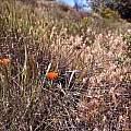 Calochortus kennedyi in habitat, Hugh McDonald