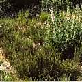 Calochortus palmerae var. munzii in habitat, Hugh McDonald