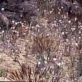 Calochortus splendens in habitat, Hugh McDonald