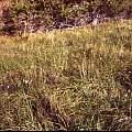 Calochortus striatus in habitat, Hugh McDonald