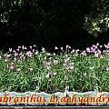 Habranthus brachyandrus, Bill Dijk