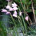 Habranthus estensis, Lee Poulsen