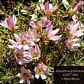 Habranthus gracilifolius, Mark Wilcox