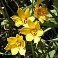 Habranthus tubispathus, Lee Poulsen